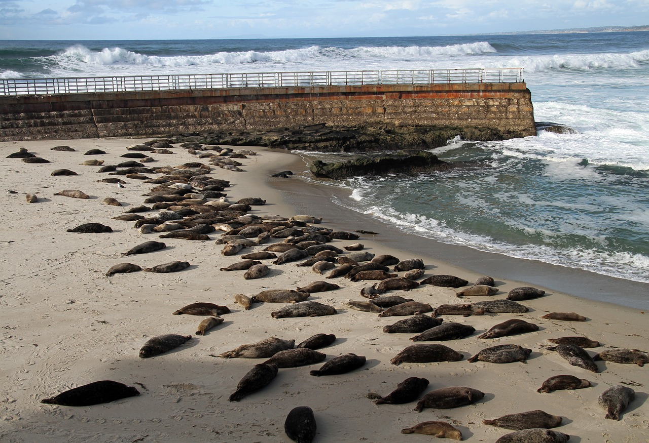 Seals resting on a beach in San Diego