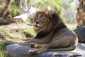 Lion in the San Diego Zoo resting on the rock