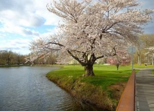 Tree in blossom on a river bank that can make you think  - is New Jersey the right choice for you?