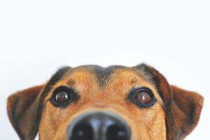 A dog staring at the camera